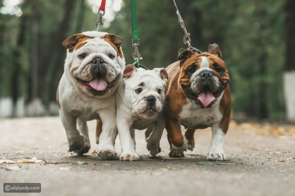 Bulldogs and French bulldogs