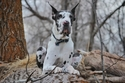 2-Great Dane: