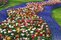 هولندا: 7 ملايين من زهور التوليب
