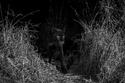 تصوير الفهد للمرة الأولى منذ 100 سنة 2