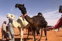 صور: تفاصيل أول مشاركة نسائية في مهرجانات الإبل السعودية