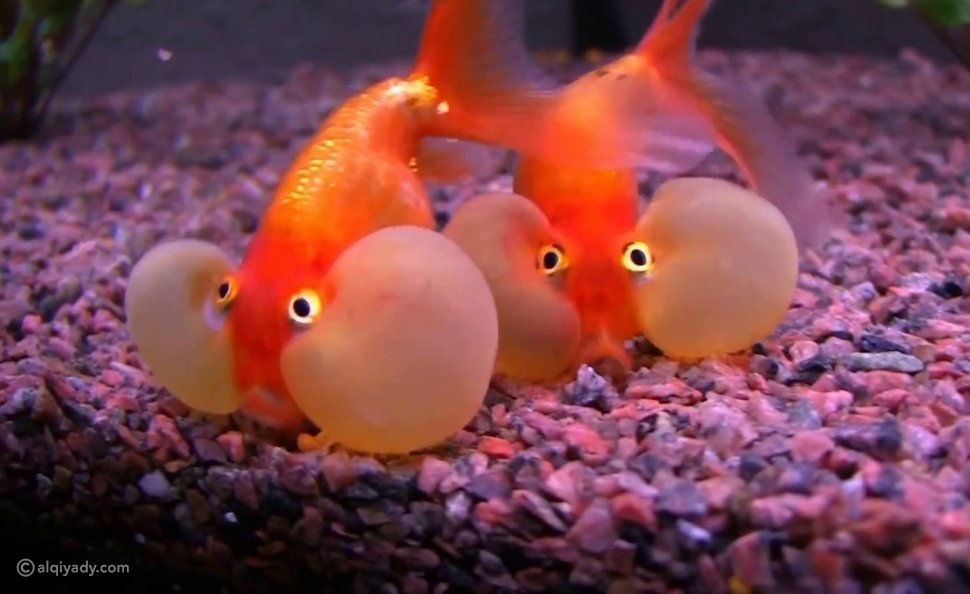 السمكة الفاقعة مزودة بالمثانة السباحة لمساعدتها على الحركة