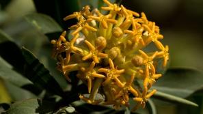 نبات له مفعول سحري في علاج السمنة والتخلص من الوزن الزائد