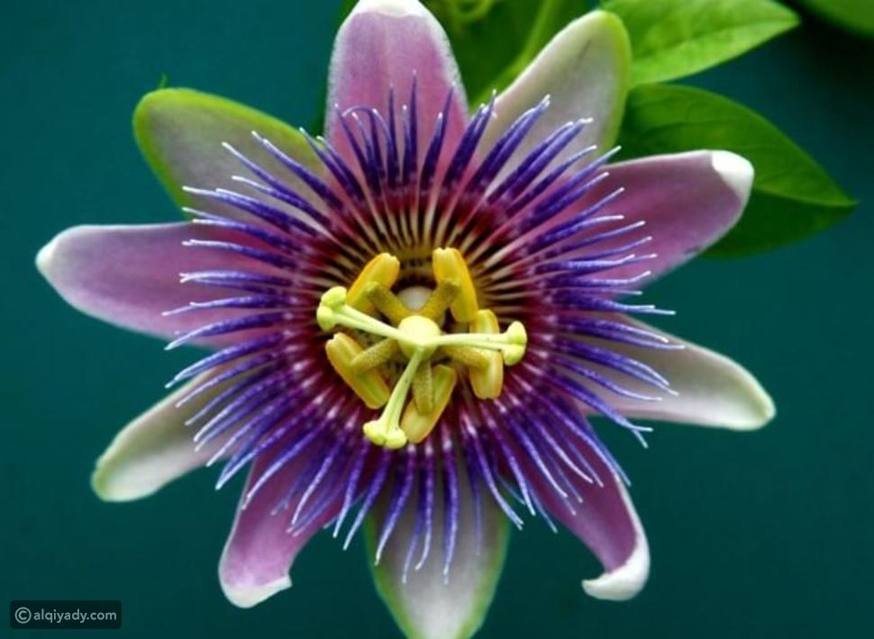 صور أغرب أشكال الزهور حول العالم.. الأخيرة لن تصدق شكلها