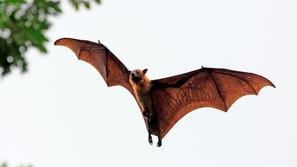 فيروس كورونا الجديد: حساء الخفافيش في قفص الاتهام