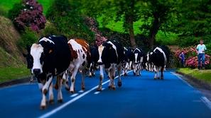 دراسة تحذر من حليب الأبقار كمسبب لسرطان القولون
