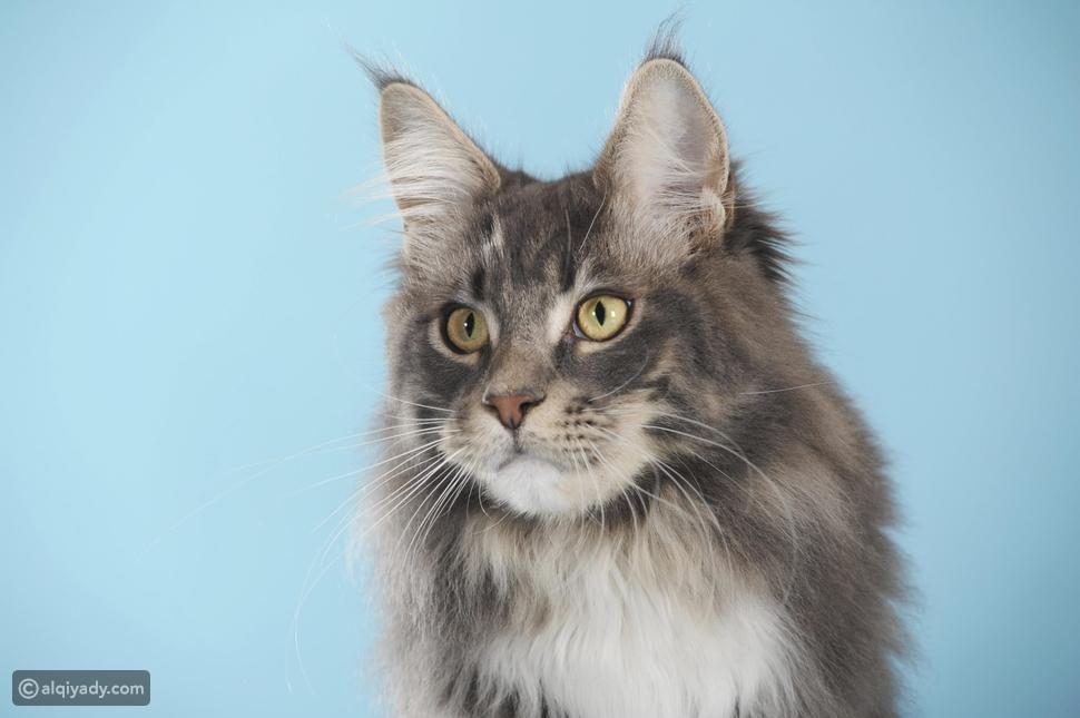 احذر 8 سلالات قطط تتم سرقتها: هل لديك واحدة منها؟