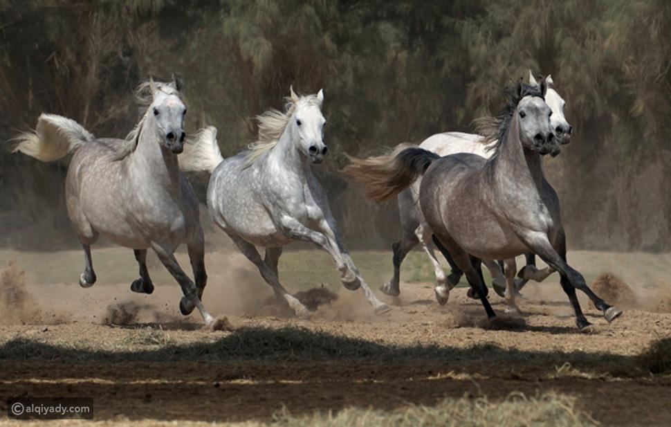 الحصان العربي الأصيل: مواصفاته وأنواعه
