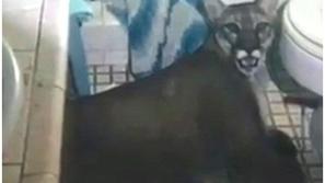 فيديو: أميركي يتفاجأ بأسد داخل دورة مياه منزله.. هذا ماحدث