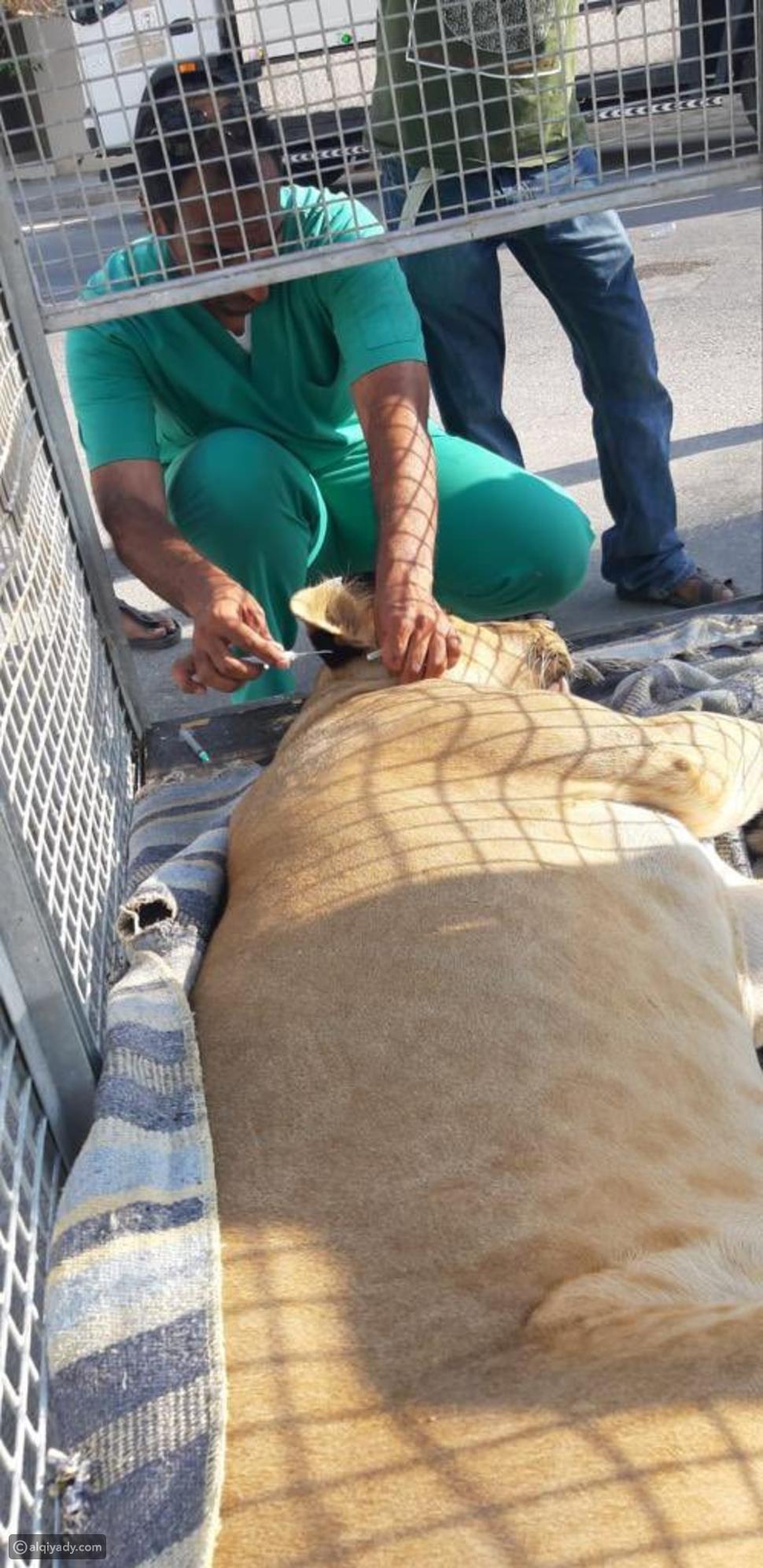 أسد طليق يتجول بحرية في شوارع مدينة سعودية