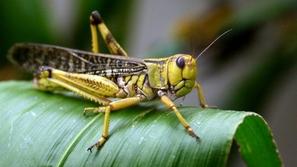 فيديو: كل ما تريد معرفته عن الجراد.. اسباب هجرة ملايين الحشرات