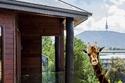 فيديو وصور: استمتع بصحبة الحيوانات المفترسة عن قرب في هذا الفندق
