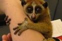 Slow Loris: يستخدم هذا الحيوان السم من ذراعه عند الدفاع عن نفسه.