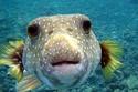 Pufferfish: تستخدم تلك السمكة السم في الدفاع عن نفسها.