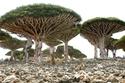 غابة أشجار دم التنين