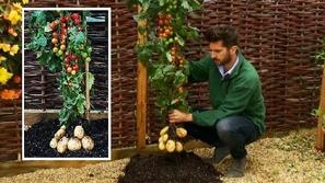 بالصورة..تعرف على تومتيتو..نبات طماطم وبطاطس في نفس الوقت
