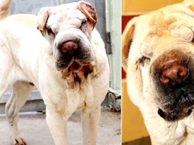 كلب يعيد جماله ويتخلص من التجاعيد بعملية شد للوجه